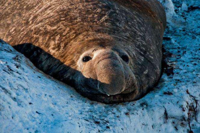Pierwszy słoń morski w tym sezonie