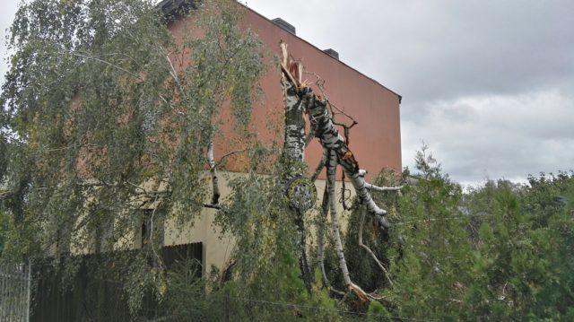 powalone drzewo w Krosinku
