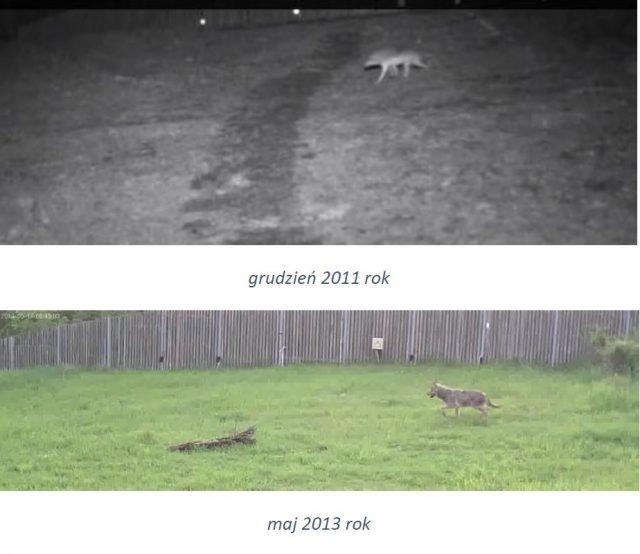 Wilki Wielkopolskim Parku Narodowym 2018