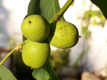 Orzech włoski - owoc