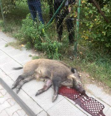 martwy dzik w Puszczykowie
