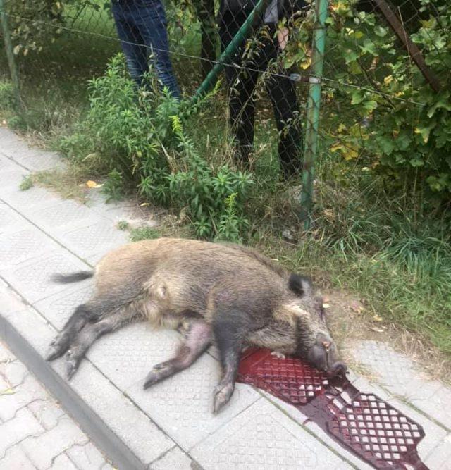 martwy dzik zastrzelony w Puszczykowie