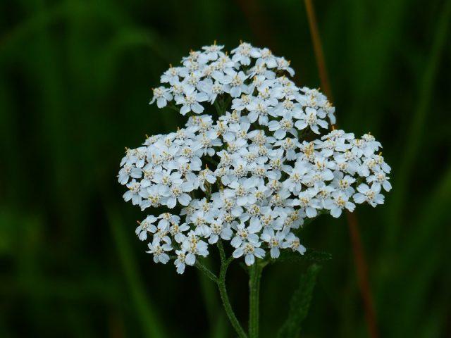 Krwawnik Pospolity - kwiat
