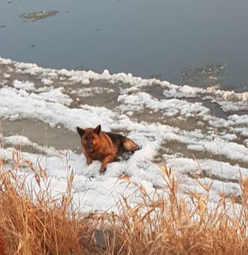 owczarek niemiecki uwięziony w lodzie na Warcie