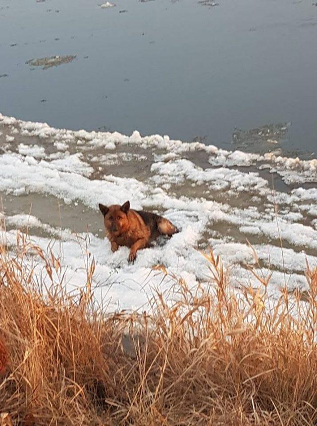 Owczarek niemiecki uwięziony w lodach Warty