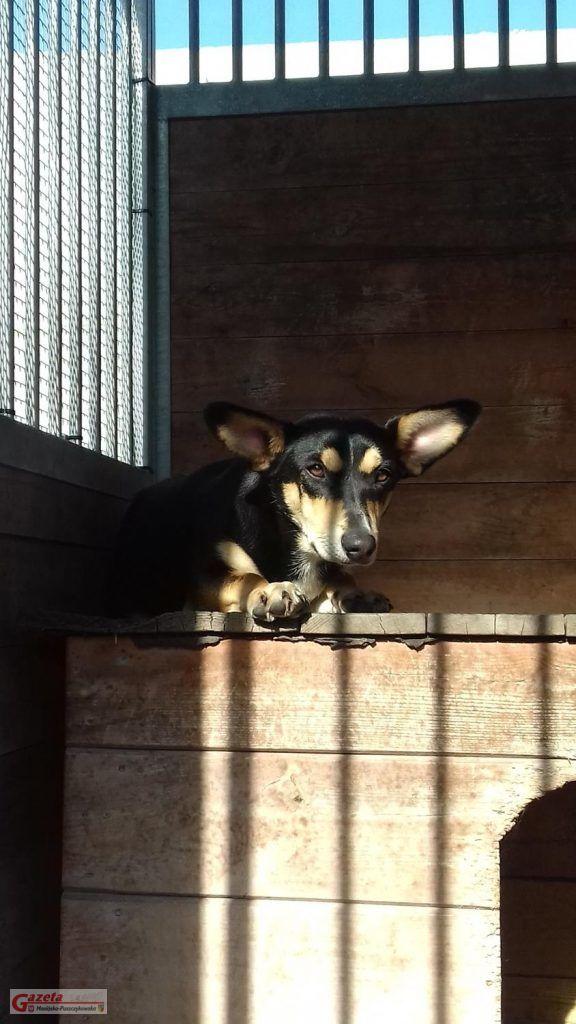 pies szuka właściciela Mosina