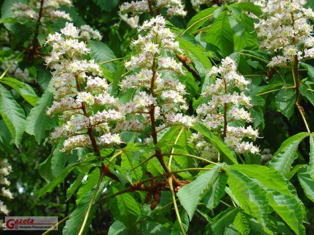 kwitnący kasztan zwyczajny