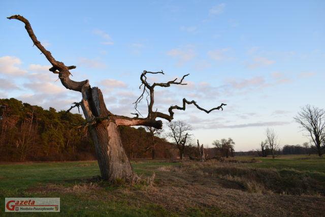 Rogaliński Park Krajobrazowy - martwy dąb szypułkowy