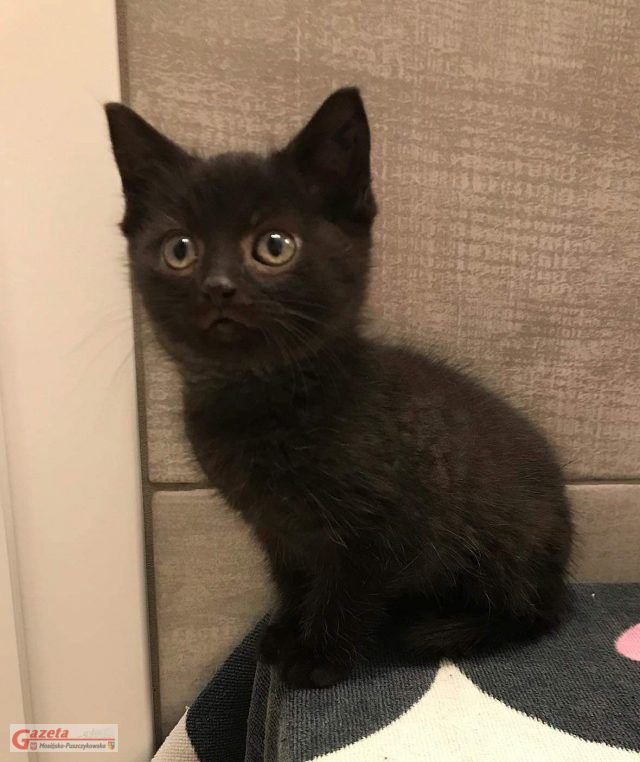 Węgielek – jeden z czterech czarnych kociaków