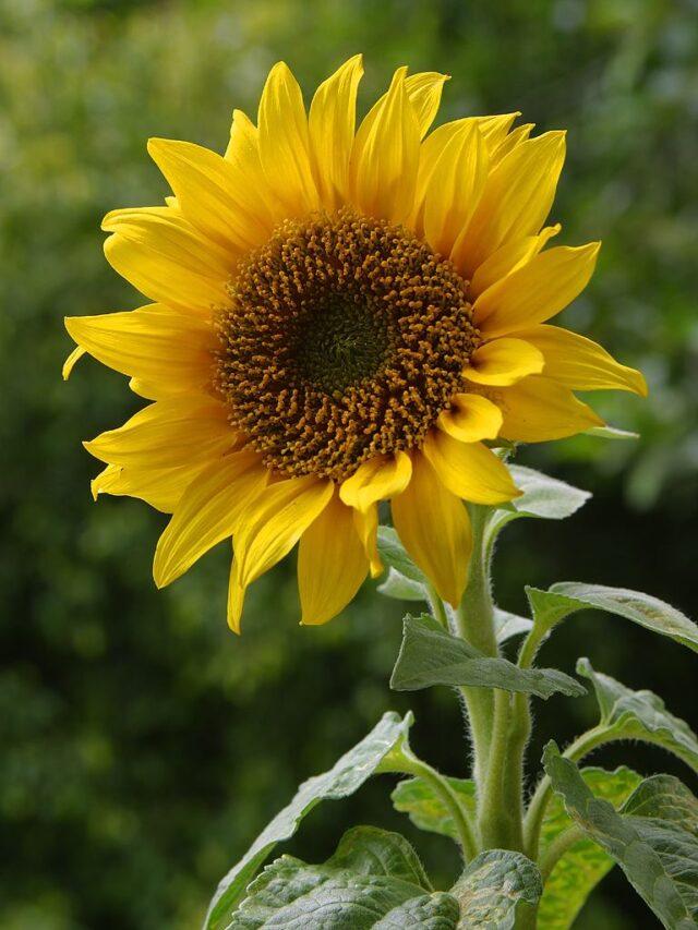 Słonecznik zwyczajny