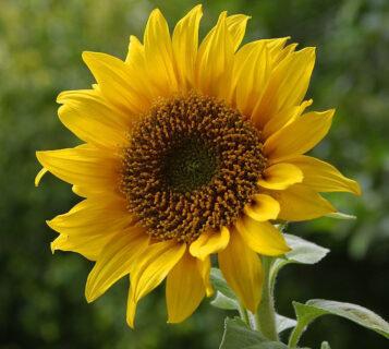 slonecznik zwyczajny - kwiat i nasiona