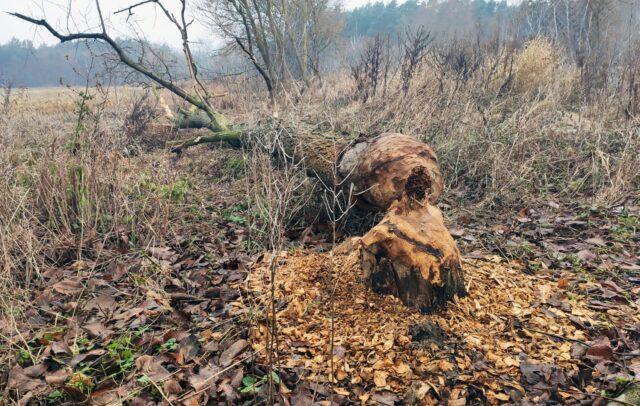 Drzewo powalone przez bobra nad Kanałem Mosińskim (łęgi nadwarciańskie)