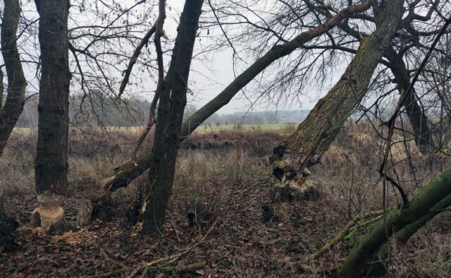 Terytorium bobrów nad Kanałem Mosińskim (przy ujściu do Warty)