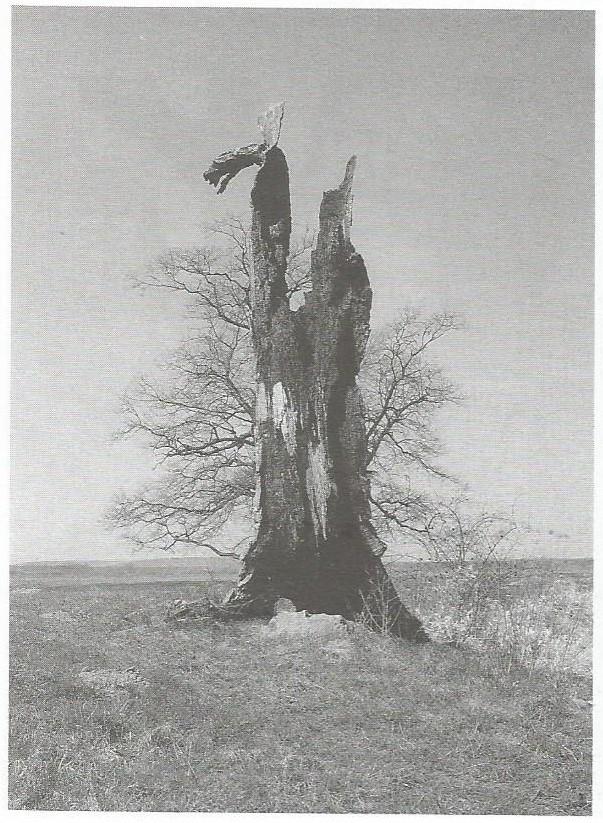 Dąb w Rogalinie fot. Zbigniew Pniewski