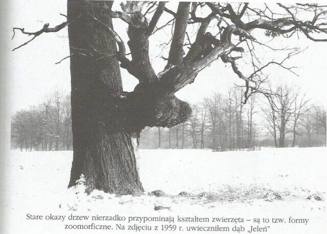 Dąb Jeleń fot. Zygmunt Pniewski 1959 r.