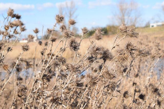 Wysuszone rośliny przypominają, że nadal trwa kalendarzowa zima.