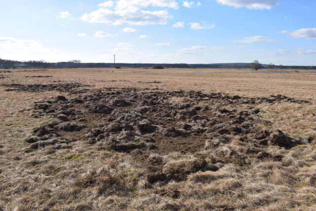 Zbuchtowane fragmenty łąki wskazują na występowanie dzików.