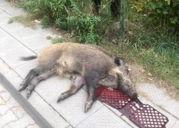 martwy dzik Puszczykowo
