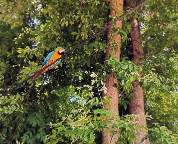 Papuga Ara w Mosinie