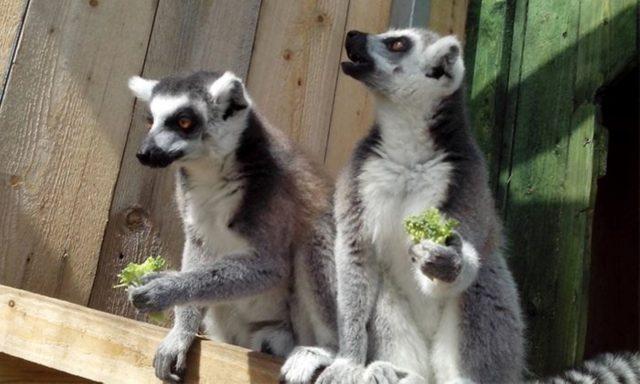 DELI Park - lemury