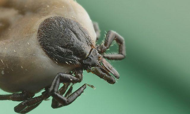 Samica kleszcza pospolitego (Ixodes ricinus)