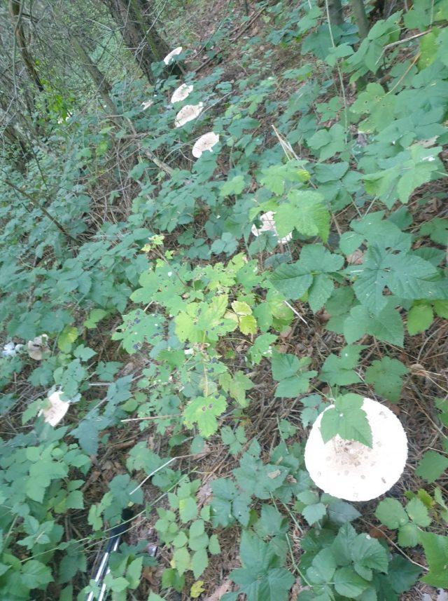 Grzyby z wielkpolskich lasów - kanie